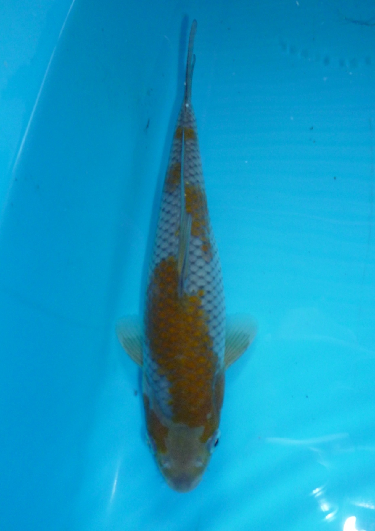 Ochiba 3 months old sold marugen koi farm for Baby koi for sale