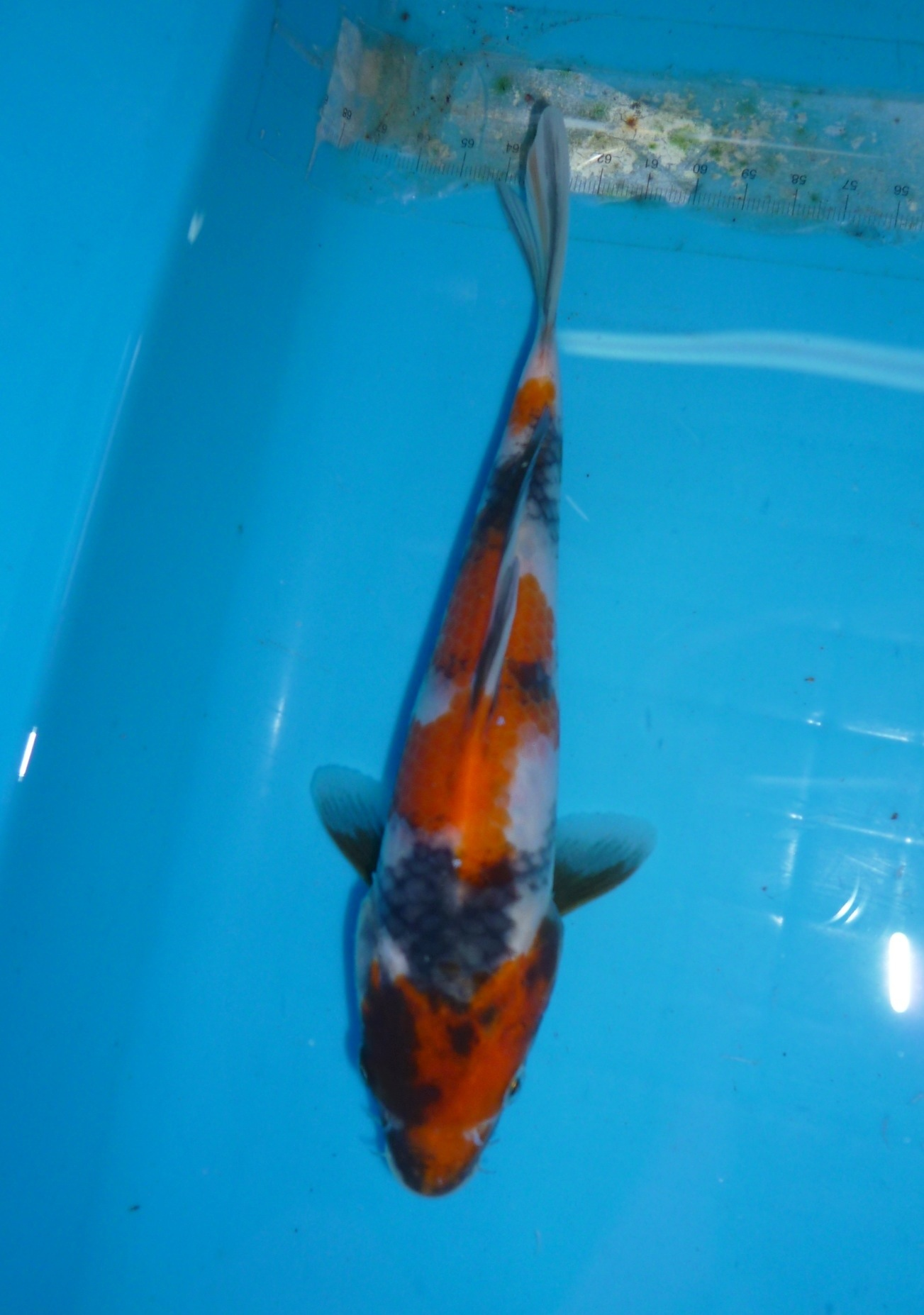 Showa 3 months old sold marugen koi farm for Baby japanese koi fish for sale