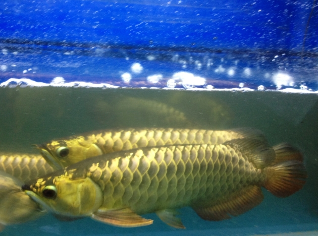 Marugen Fish Farm Aqua Gold Cross Back Golden Arowanas