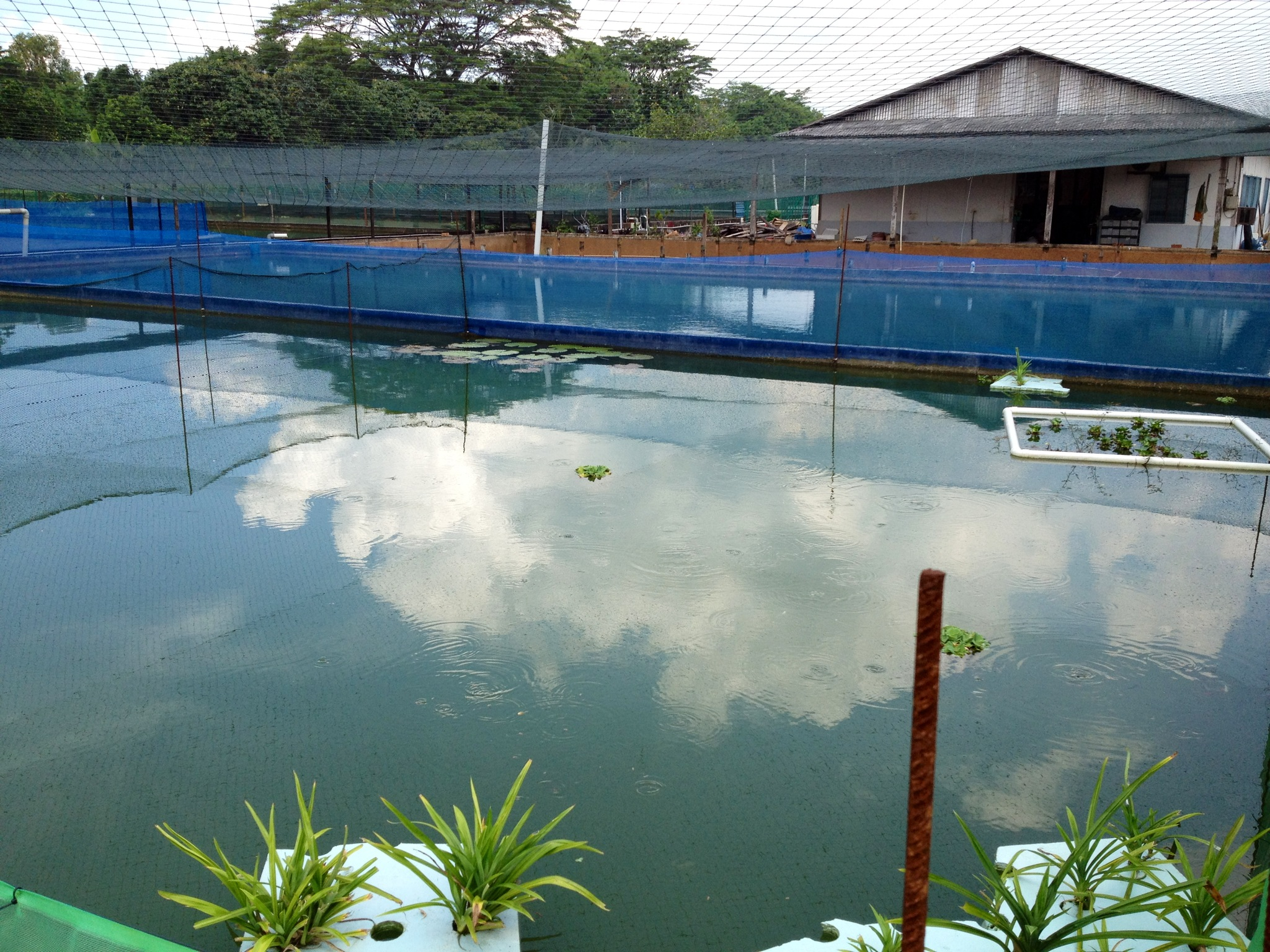 Marugen koi farm a boutique japanese koi fish farm for Koi carp farm