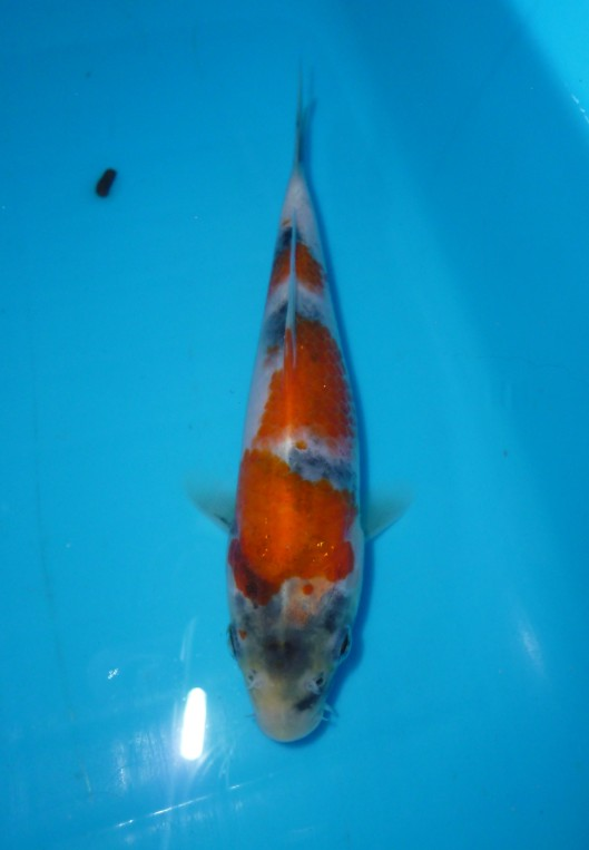 Kindai showa marugen koi farm for Oldest koi fish