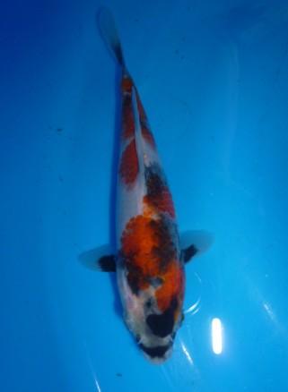 Marugen Showa Tategoi [Sold] Offspring of Night Trilium (Female Oyagoi: Momotaro Mako Showa) Product of Marugen Fish Farm, Singapore