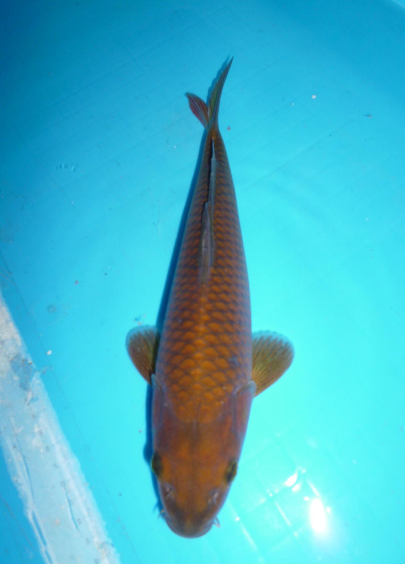Koi pictures marugen koi farm singapore for Baby koi fish for sale