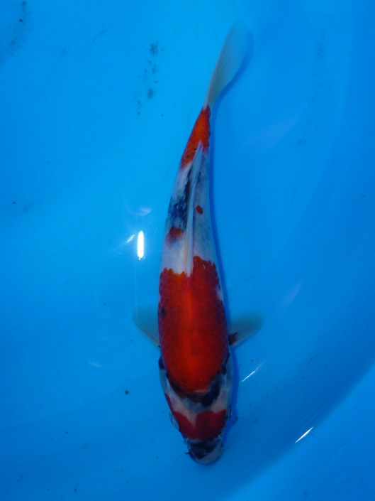 Marugen Japanese Koi Fish For Sale In Singapore Marugen Showa Tategoi @ 5 months old Offspring of Night Trilium (Female Oyagoi: Momotaro Mako Showa) Product of Marugen Koi Farm, Singapore