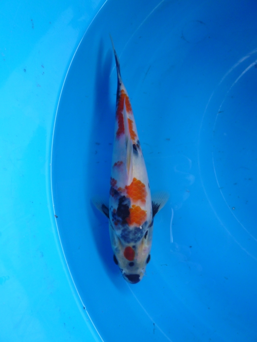 Marugen Japan Koi Fish For Sale In Singapore Marugen Showa Tategoi @ 5 months old Offspring of Night Trilium (Female Oyagoi: Momotaro Mako Showa) Product of Marugen Koi Farm, Singapore