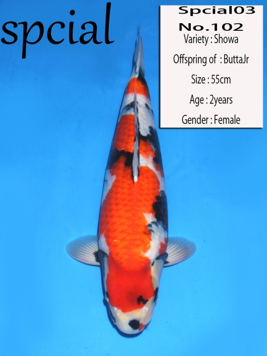 Dainichi Koi Farm Auction 2013 No. 102 Dainichi Showa  Offspring of Butta Jr Nisai, Female Size: 55cm