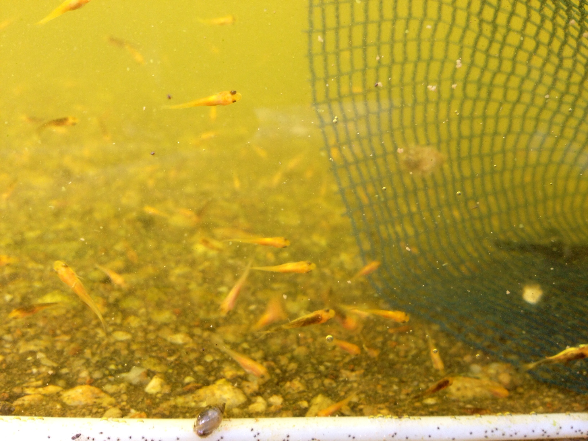 Marugen baby koi fries at 10 days old marugen koi farm for Baby japanese koi fish for sale