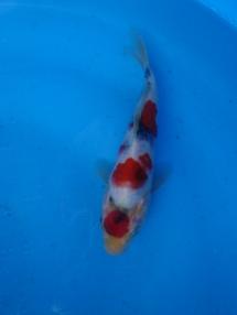 "Maruten Kindai Showa Offspring of ""Night Trilium"" Female parent fish ""Night Trilium"" is a Showa bred by Momotaro Koi Farm Product of Marugen Koi Farm, Singapore"