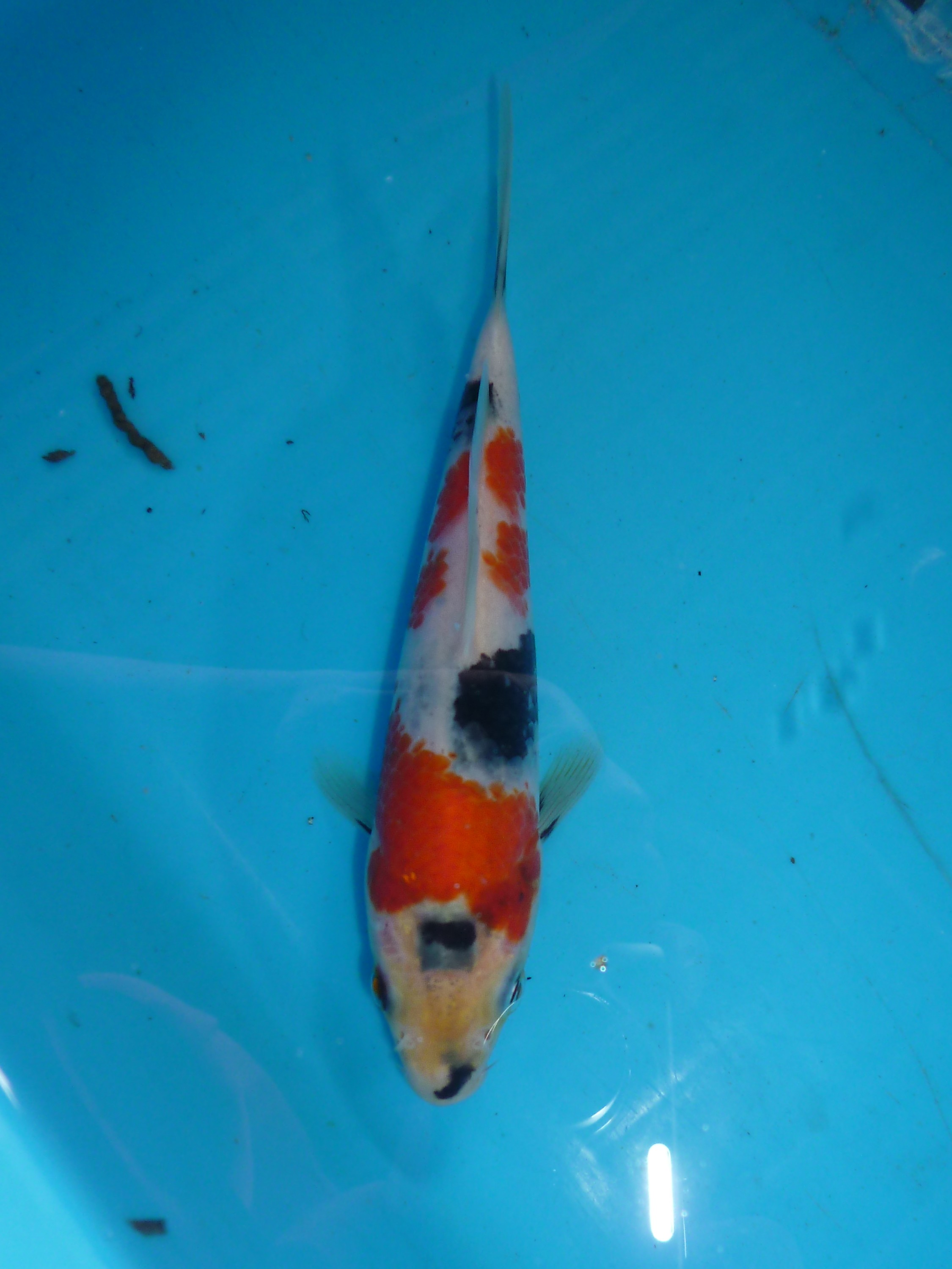 Marugen koi farm show quality showa koi fishes for sale for Koi carp farm