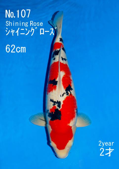 New world record koi auction price set for a sakai fish for Most expensive koi fish