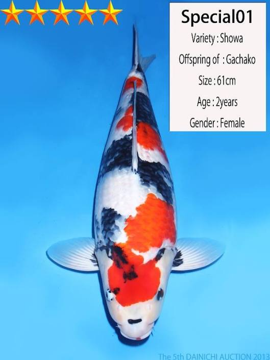 Most Expensive Auction Koi  Dainichi Showa 61cm Nisai Offspring of Gachako Dainichi Koi Farm