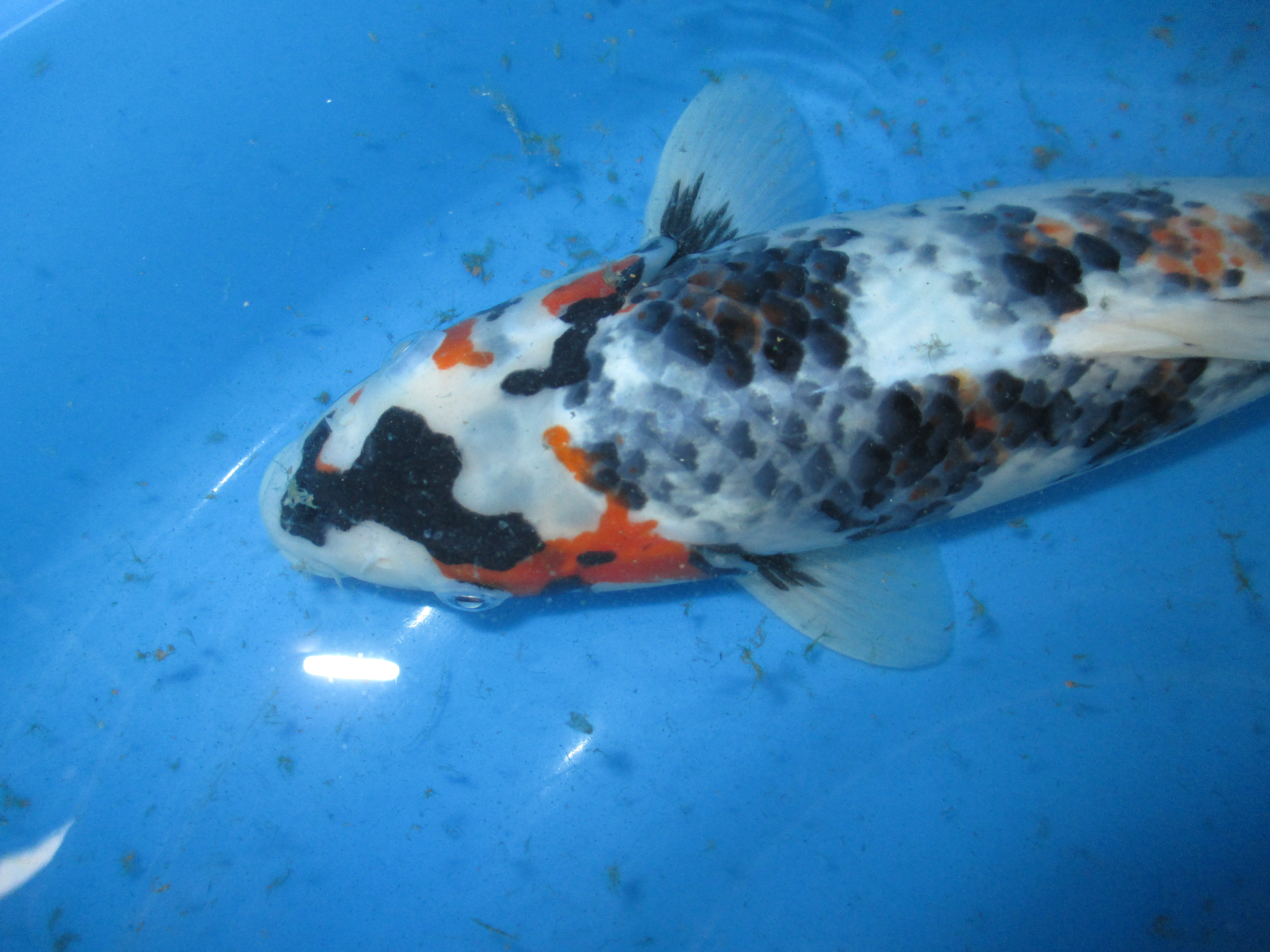 Japan koi fish for sale in singapore marugen koi farm for Fish for sale koi