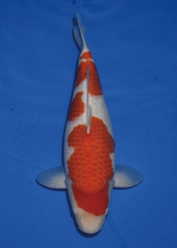 No. 31 Female Kohaku 53cm Momotaro Koi Farm Auction