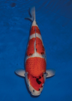 No. 97 Female Showa 56cm Momotaro Koi Farm Auction