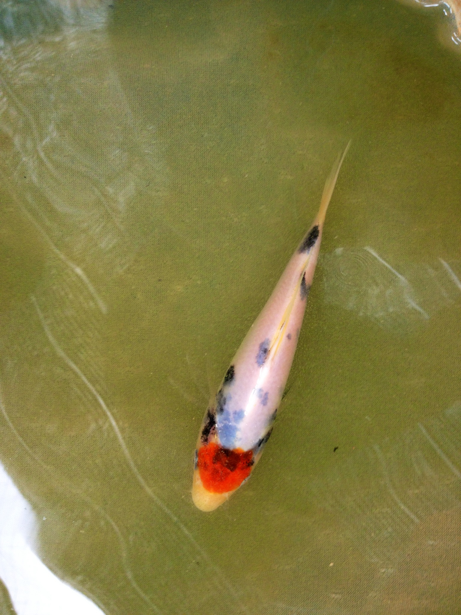 Baby koi fries marugen koi farm for Baby koi carp