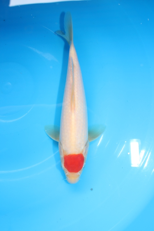 Marugen Koi Farm - Tancho Kohaku Koi For Sale In Singapore