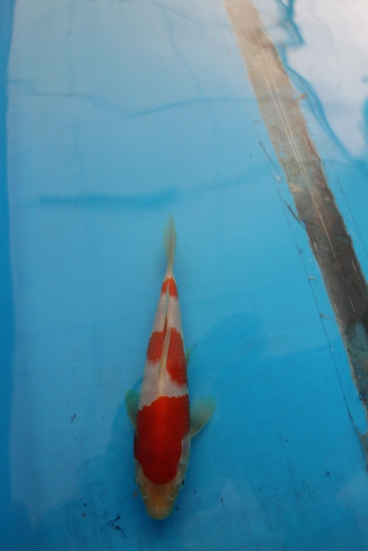 Marugen Koi Farm - Kohaku Koi For Sale In Singapore