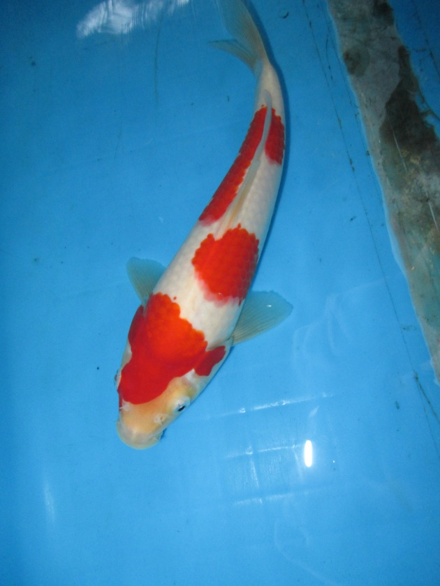 Marugen koi farm kohaku koi for sale in singapore 23 for Tancho koi for sale