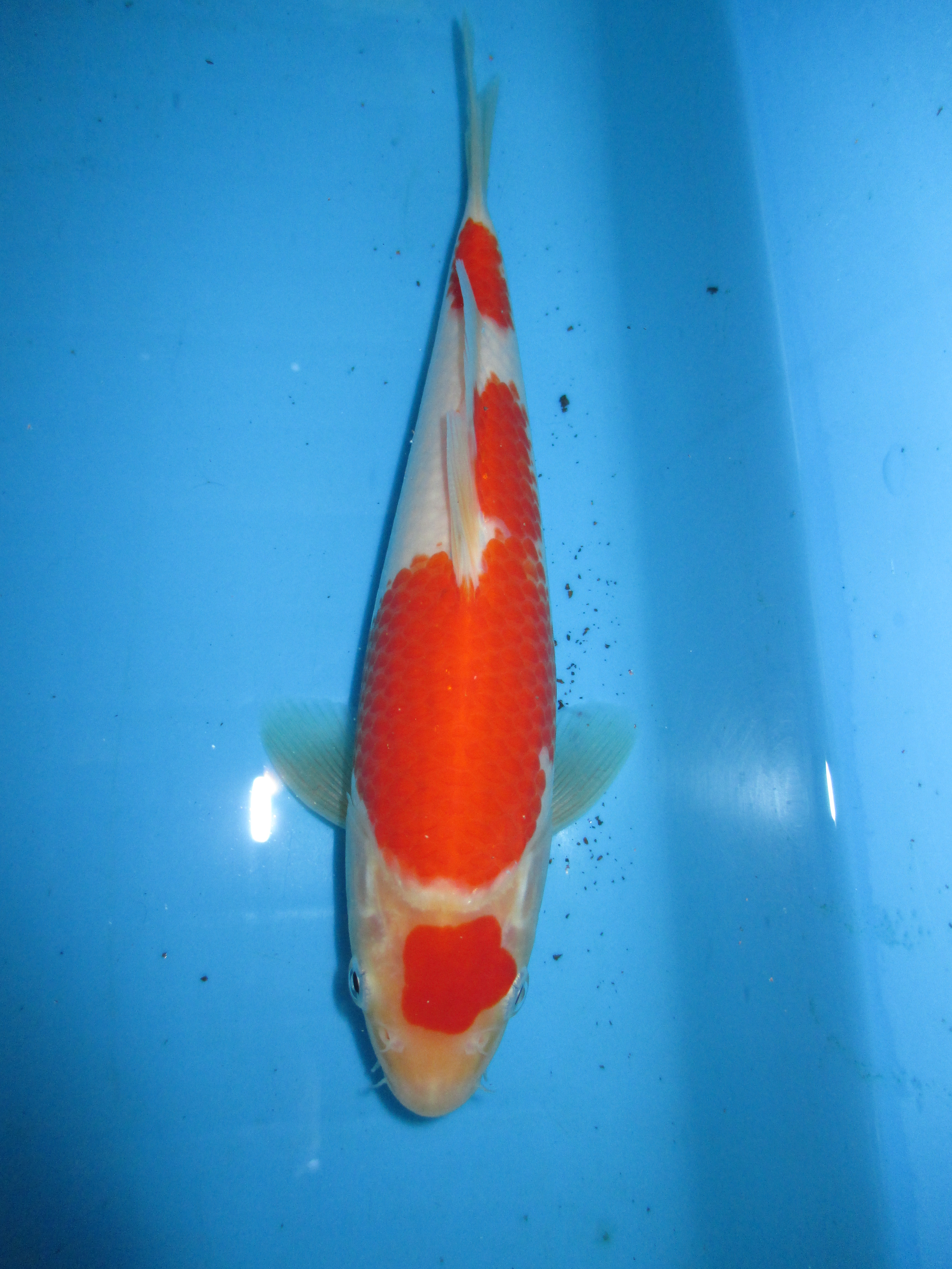 Marugen koi farm kohaku koi for sale in singapore 29 for Kohaku koi for sale