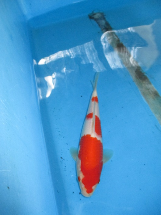 Marugen Koi Farm - Kohaku Koi For Sale In Singapore (35)