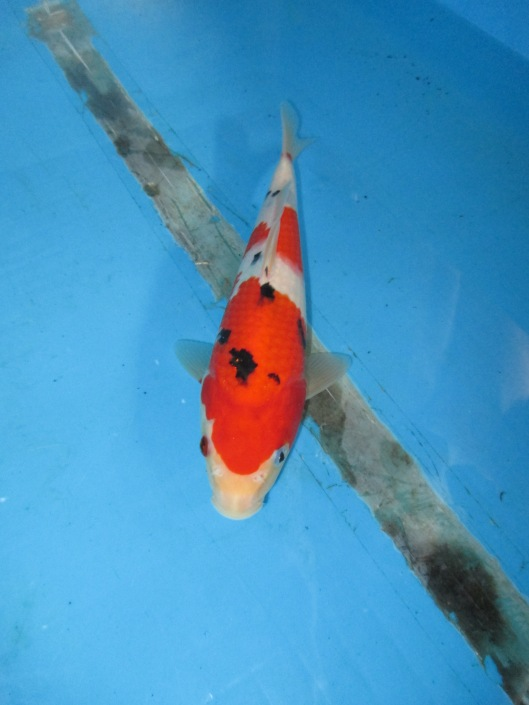 Marugen Koi Farm - Taisho Sanke Koi For Sale In Singapore  (6)
