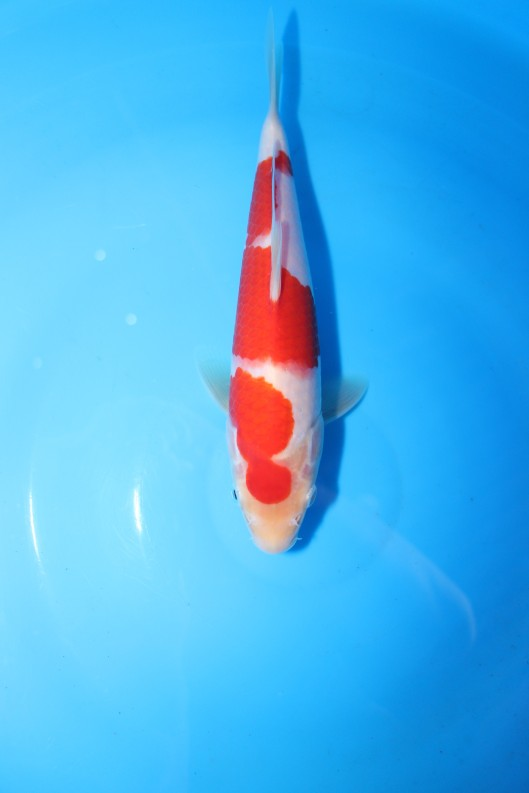 "18th Singapore Koi Show & Championship 2014 1st Prize - Kohaku (25BU)  Offspring of ""M Tanchozuru"" Female Oyagoi ""M Tanchozuru"" (an offspring of ""Love Queen"") is a Tancho Kohaku bred by Sakai Fish Farm Bred by Marugen Koi Farm, Singapore Owned by Mr Pang Hon Seong"
