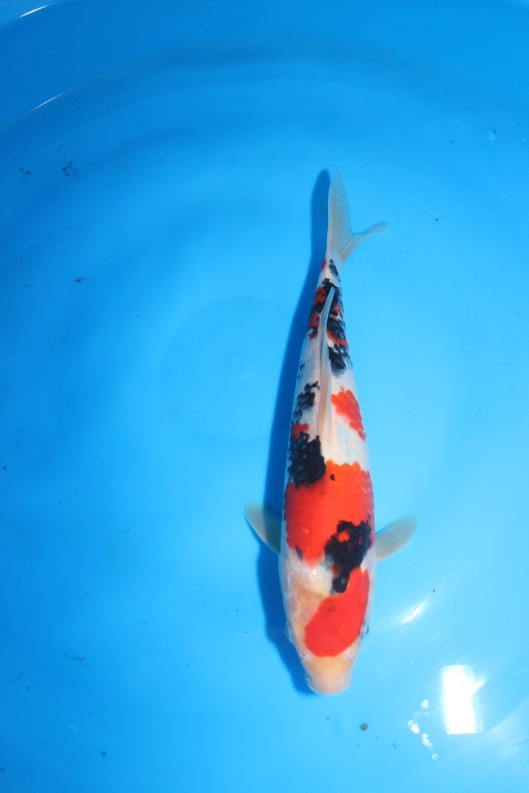 "High Quality Taisho Sanke 18th Singapore Koi Show 2014 1st Prize - Sanke (30BU) Offspring of ""M Tanchozuru"" Female Oyagoi ""M Tanchozuru"" (an offspring of ""Love Queen"") is a Tancho Kohaku bred by Sakai Fish Farm Bred by Marugen Koi Farm, Singapore"