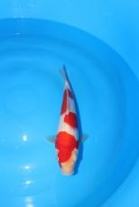 "High Quality Kohaku Offspring of ""M Tanchozuru"" Female Oyagoi ""M Tanchozuru"" (an offspring of ""Love Queen"") is a Tancho Kohaku bred by Sakai Fish Farm Bred by Marugen Koi Farm, Singapore Owned by Sean"