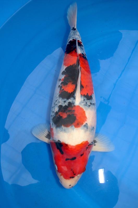 Marugen koi farm singapore a boutique japanese koi fish for Top japanese koi breeders