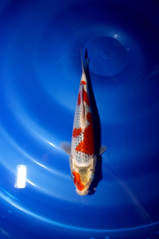 "Kawarimono Offspring of ""J Blessing"" Bred by Marugen Koi Farm"