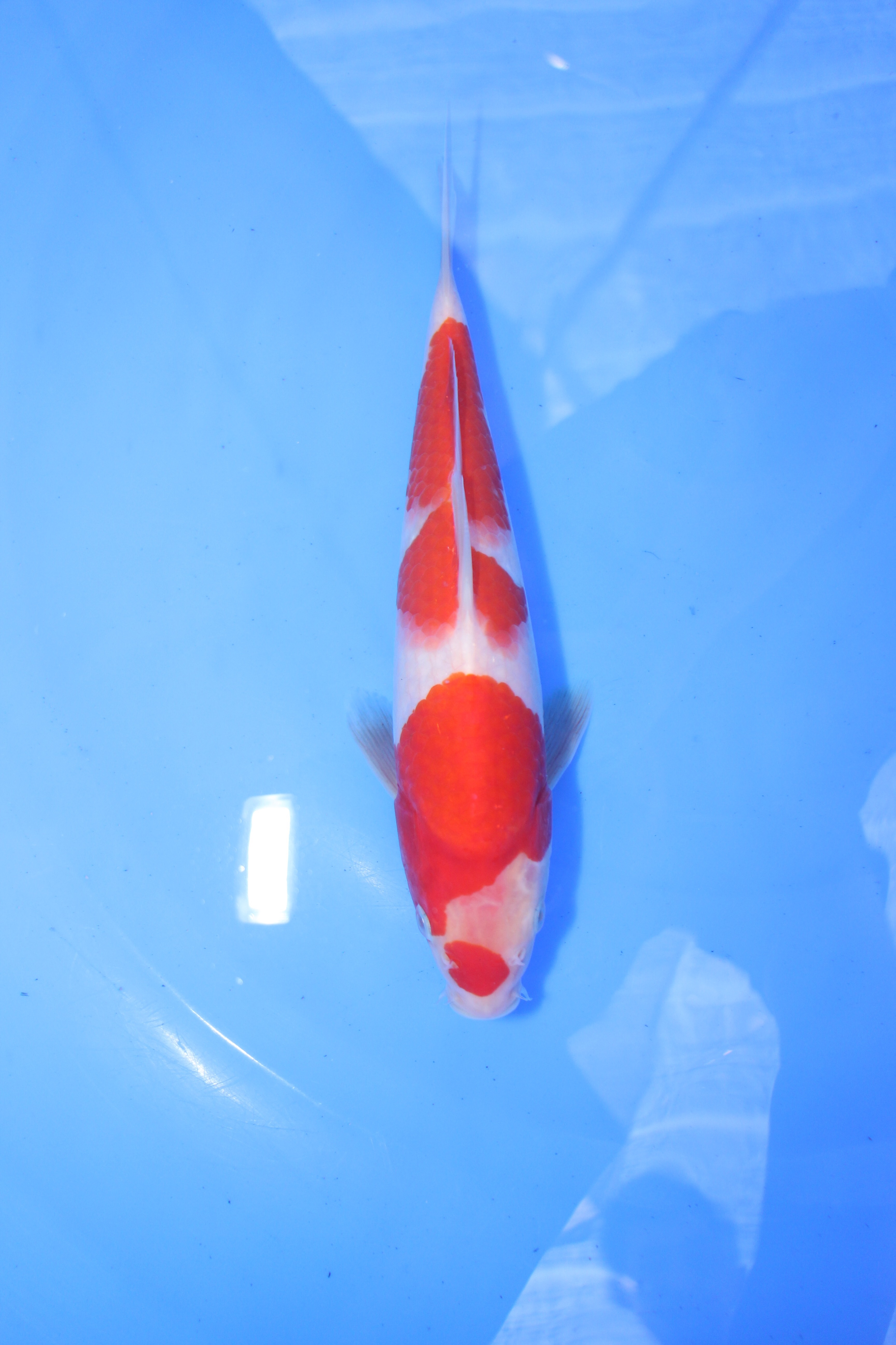 Kuchibeni kohaku koi for sale koi answers all your for Kohaku koi fish for sale