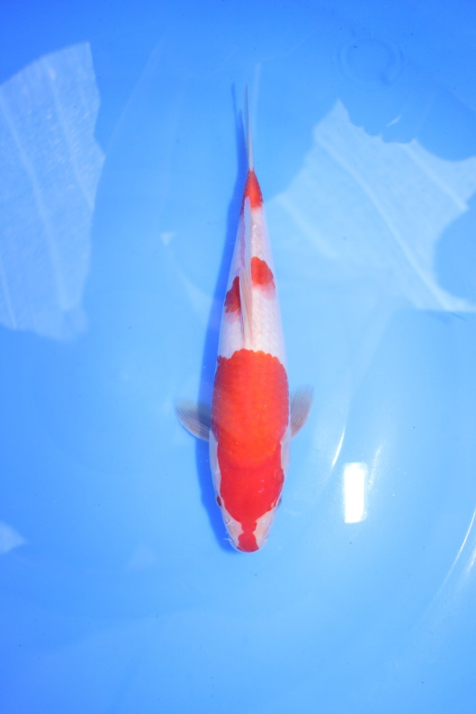 Kohaku tategoi marugen koi farm for Kohaku koi fish for sale