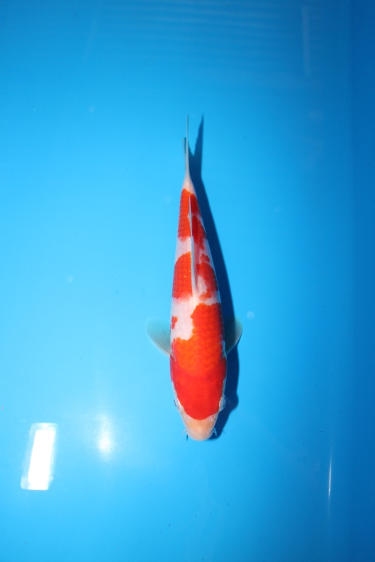 Quality koi fish for sale in singapore marugen koi farm for Baby japanese koi fish for sale