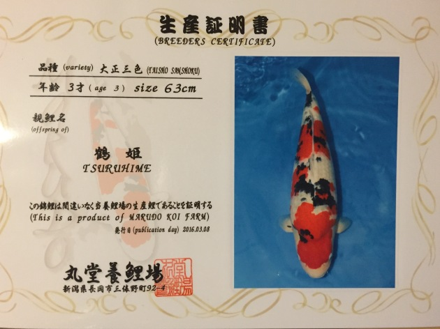 Marudo Sanke (Female Sansai) Bred by Marudo Koi Farm