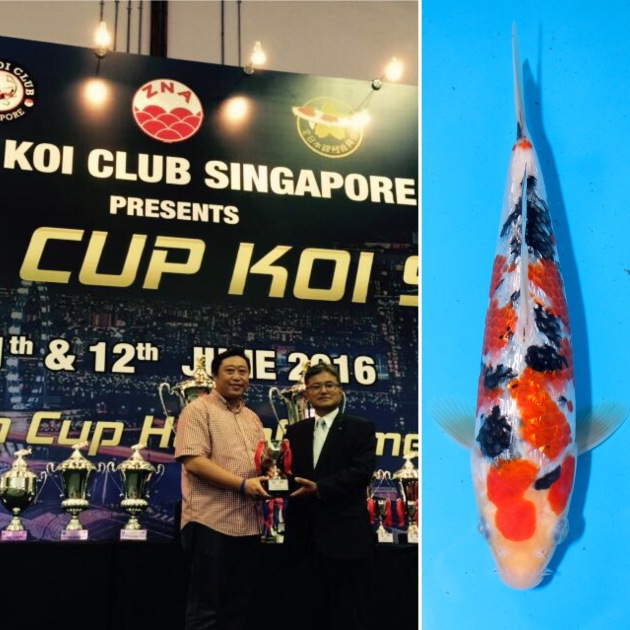 "9th Asia Cup Koi Show 2016 Mini Champion Non-Gosanke Best In Size (20BU) 1st Prize – Kinginrin Class A (20BU) Kinginrin Sanke Offspring of ""RT Sanke"" Bred by Marugen Koi Farm, Singapore Owned by Andrew Chng"